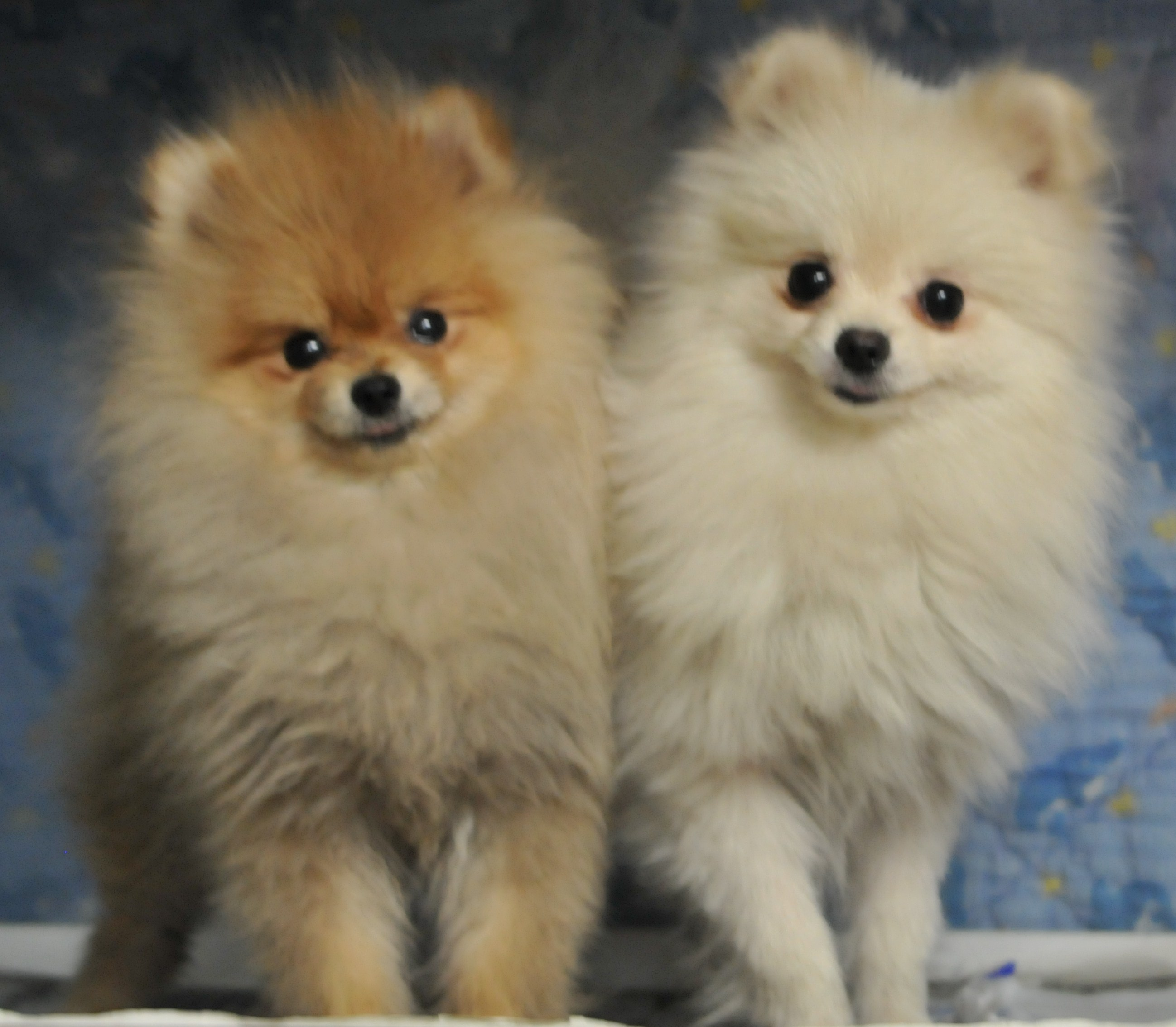 飼いたい小型犬のポメラニアン